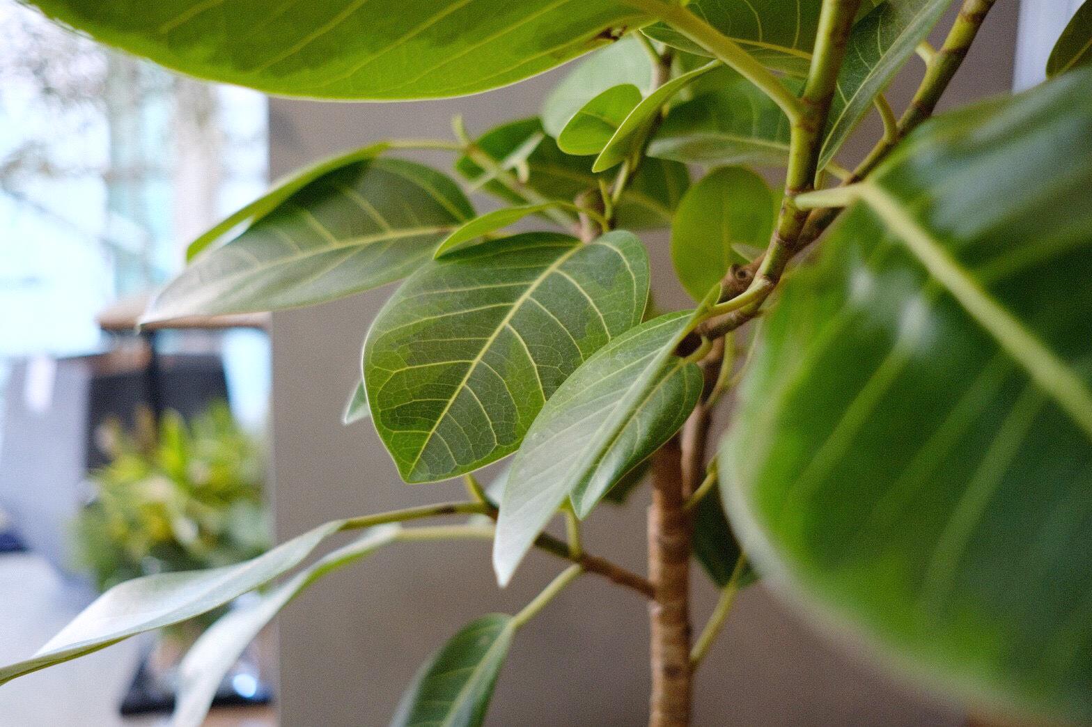 Ficus altissima〈フィカス アルテシーマ〉