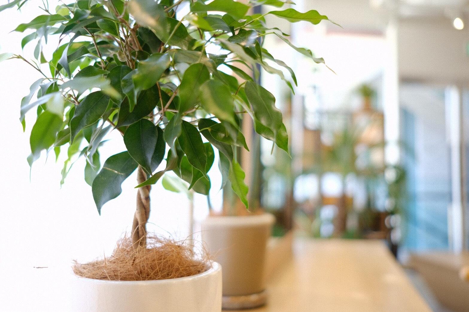 Ficus benjamina〈ベンジャミン〉