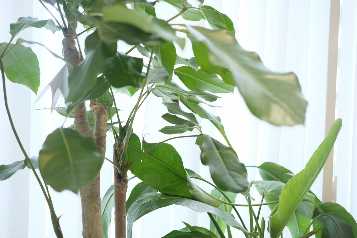 Ficus religiosa〈インドボタイジュ〉